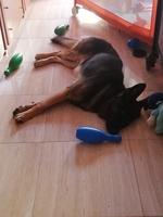 Heridas que no curan o cicatrizan en perros, Pastor alemán