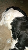 Apatía en perros, Bardino (Perro majorero)