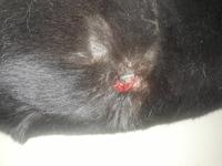 Heridas que no curan o cicatrizan en perros, Akita americano