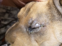 Lagrimeo verdoso o amarillento en perros, Shar Pei