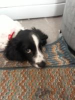 Sangrado anal en perros, Springer spaniel inglés
