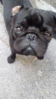 Hocico hinchado en perros, Pug