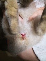 Sangrado en vagina en roedores, Cobaya