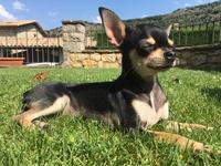 Aborto en perros, Chihuahueño