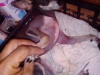 Curvamiento espalda en perros, Chihuahueño