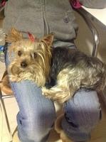 Estornudos en perros, Yorkshire terrier