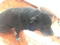 Respira con dificultad en perros, Labrador