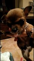 Convulsiones en perros, Chihuahueño