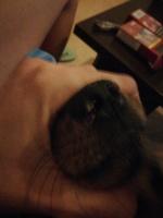 Úlcera en la nariz en perros, Yorkshire terrier