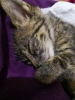 Respira con dificultad en gatos, Americano de pelo corto