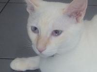 Thor, mi gato cruce de siamés macho, tiene desánimo, decaído, triste, depresión, letargo y ojos inflamados