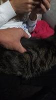 Figa, mi gato común europeo hembra, tiene dificultad para defecar, debilidad y pérdida de peso o adelgazamiento