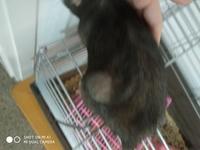 Shyvana, mi roedor rata dumbo hembra, tiene bulto en la piel