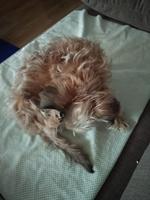 Lame mucho sus genitales en perros, Yorkshire terrier