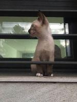 Vómito en gatos, Siamés