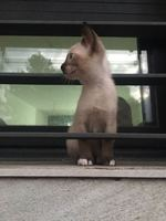 Vómito verde en gatos, Siamés