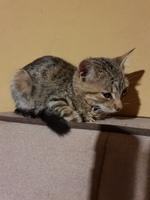 Deshidratación en gatos, Europeo de pelo corto