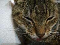 Babeo excesivo o espuma blanca por la boca en gatos, Europeo de pelo corto