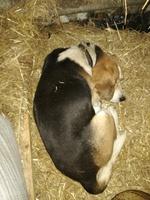 Curvamiento espalda en perros, Beagle