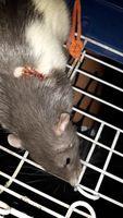 Tivo, mi roedor rata dumbo macho, tiene heridas