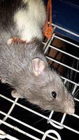 Heridas en roedores, Rata dumbo
