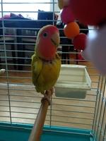 Cuki, mi ave agapornis roseicollis macho, tiene inflamación cuello