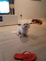 Dolor al contacto en perros, Bichon maltés