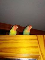 Inflamación cuello en aves, Agapornis roseicollis