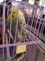 Vómito en aves, Periquito de cara amarilla tipo I