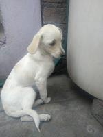 Pelusa, mi perro cruce de labrador hembra, tiene mal apetito, flemas y apatía
