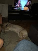 Django, mi perro labrador macho, tiene vómito, pupilas dilatadas y desorientación