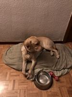 Pupilas dilatadas en perros, Labrador
