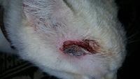 Heridas que no curan o cicatrizan en gatos, Desconocida