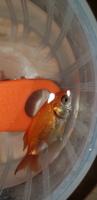 No Tiene Nombre, mi pez cola de abanico hembra, tiene mal apetito y corte de cola