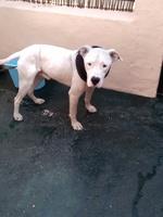 Reacción por vacuna en perros, Dogo argentino