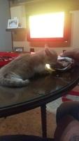 Estornudos en gatos, Europeo de pelo corto