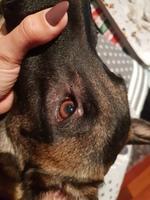 Sena, mi perro pastor belga hembra, tiene picor y rascarse, falta de pelo alrededor de los ojos y pérdida de peso o adelgazamiento