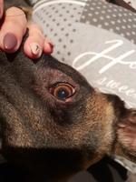 Falta de pelo alrededor de los ojos en perros, Pastor belga