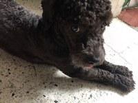 Abdomen inflamado en perros, Caniche