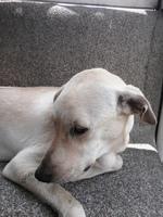 Lulú, mi perro cruce de golden retriever hembra, tiene come cosas no alimenticias (plásticos, calcetines etc.) y vómito