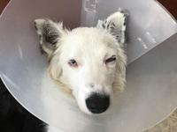 Lucas, mi perro border collie macho, tiene neblina azul o grisácea en los ojos