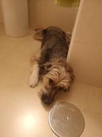 Come cosas no alimenticias (Plásticos, calcetines etc.) en perros, Ratonero bodeguero andaluz