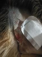 Rocoto, mi perro cruce de pastor alemán macho, tiene picor y rascarse, pus en la piel, infección y piel seca