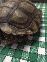 Beli, mi reptil tortuga hembra, tiene heridas