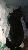 Raspy, mi gato cruce macho, tiene dificultad para orinar, dolor al orinar y lame mucho sus genitales