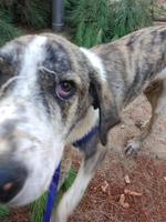 Ojos rojos en perros, Mastín español