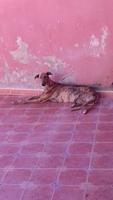 Apatía en perros, Galgo español
