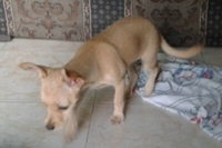 Cojera en perros, Chihuahueño