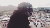 Ojos entrecerrados en perros, Bichon maltés