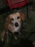 Rigidez en las patas traseras en perros, Labrador